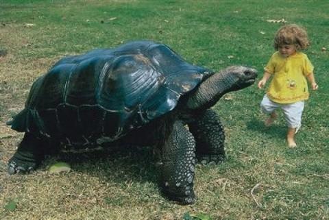 отдых на Сейшельских островах, остров Ла Диг - гигантская черепаха